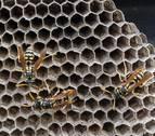 Salud controla a 400 navarros con alergia al veneno de avispas y abejas