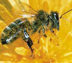 Las abejas se adaptan a zonas altas mediante cambios en su comportamiento