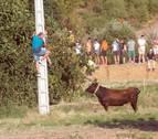 La 'traída' de las vacas se alarga en Cintruénigo
