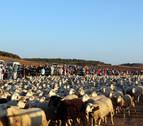 Bardenas da la bienvenida los rebaños de ovejas