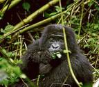 Los gorilas de montaña arriesgan su vida porque necesitan sal
