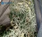 Incautan en Pamplona una planta de marihuana en una terraza