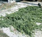 Descubren una plantación de marihuana en Leitza al seguir a varias vacas desorientadas