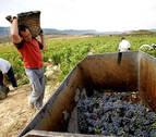 Finaliza la vendimia de la D.O. Navarra con menor cantidad de uva pero excelente calidad