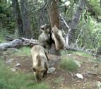 El Gobierno foral propone a los valles pirenaicos un plan de reintroducción del oso