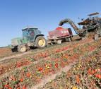 Una atípica cosecha de tomate cierra con una merma del 20% en el campo