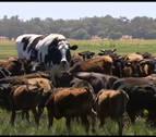 'Knickers': la vaca gigante australiana que mide casi dos metros