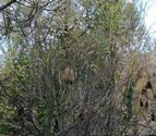 El Ayuntamiento pide que se comunique la presencia de nidos de avispa asiática