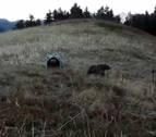 Francia y España analizan la gestión en el Pirineo de osos tras los ataques de 'Claverina'