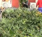 Diez detenidos y 9.000 plantas de marihuana intervenidas en Toledo