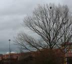 Advierten de nidos de avispa asiática en múltiples barrios de Pamplona