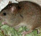 Un roedor australiano, primer mamífero extinto por el cambio climático en el mundo