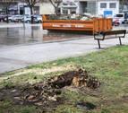 Cae un chopo y talan otros tres en la plaza de los Castaños de Barañáin