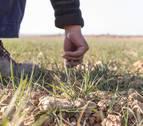 La sequía ya ha dañado más de 15.000 ha de cereal en Navarra