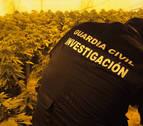 Intervienen tres plantaciones de marihuana en Toledo con 3.334 plantas