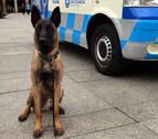 La Policía Municipal realiza 5 incautaciones de droga con la ayuda de Tyrion