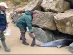 Aparecen 14 delfines muertos en la playa de San Vicente de la Barquera