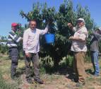 La ausencia de lluvia mejora la producción de cereza de Milagro