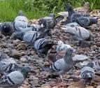 La captura de 1.000 palomas no acaba con el exceso de población en Estella