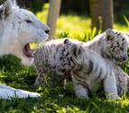Desde el sábado se pueden ver en Sendaviva dos crías de tigre blanco en peligro de extinción
