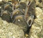La almeja o mejillón de río, una especie navarra en peligro
