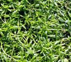 La planta acuática o 'Callitriche palustris', una especie navarra en peligro