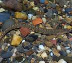'Cobitis calderoni', la lamprehuela, una especie en peligro de extinción