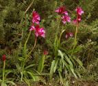 'Orchis papilionacea', una especie navarra en peligro