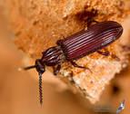 'Rhysodes sulcatus', una especie navarra en peligro