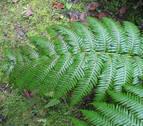 'Woodwardia radicans', una especie navarra en peligro