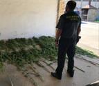 Intervienen 25 plantas de marihuana en Peralta