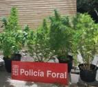 Se incautan de cinco plantas de marihuana del balcón de una vivienda