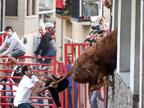 Un toro, a punto de acceder a una casa de Milagro por la ventana