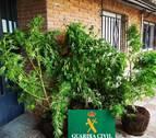Intervenidas diez plantas de marihuana en varios controles en Tierra Estella