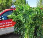 La Policía Foral interviene 62 plantas de marihuana en la Zona Media