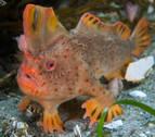 Presentan a los últimos pez-mano rojo del planeta para evitar su extinción