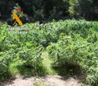 Incautadas 320 plantas de marihuana listas para su venta cerca de Lizoáin