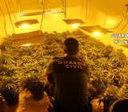 Una detenida con un cultivo de 900 plantas de marihuana y 68 enganches ilegales