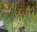 La Guardia Civil interviene casi 13 kilos de marihuana en dos parajes de la Ribera