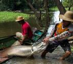Un pez gigante del Amazonas tiene escamas que resisten las dentelladas de las pirañas