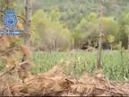 Desmantelada la mayor plantación de marihuana hasta la fecha en Aragón