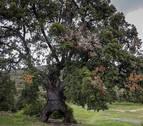 El encino de las Tres Patas de Mendaza opta a Árbol Europeo del Año