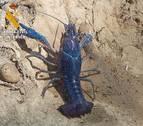 Encontrada en Cascante una especie invasora de cangrejo azul de Florida