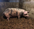 La cerda 'Ximona' se pone a dieta