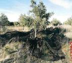 Detenido en Cintruénigo por robar 10 kg de olivas