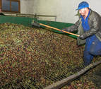 Cinco semanas de recogida de oliva dejan lista la campaña en Mendía