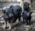 Dos detenidos en Valladolid por golpear con una maza a un cerdo vietnamita