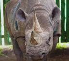La rinoceronte