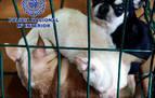 Detenidos dos veterinarios en Madrid y rescatados 270 chihuahuas mutilados