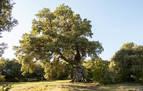 El Encino de las Tres Patas (Mendaza), noveno en el concurso Árbol Europeo de 2020